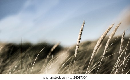 Nordic nature: straw and grass in the Scandinavian nature by the North Sea