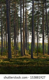 A Nordic Pine forest in evening light.