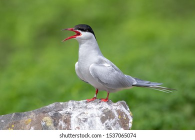 Nordic tern standing on a rock with his beak wide open. This photo is taken on Inner Farn, one of the Farne Islands. The Nordic tern is a white bird with red beak.