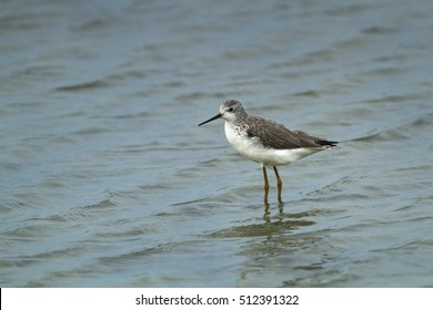 Nordmann,s greenshank in the nature.