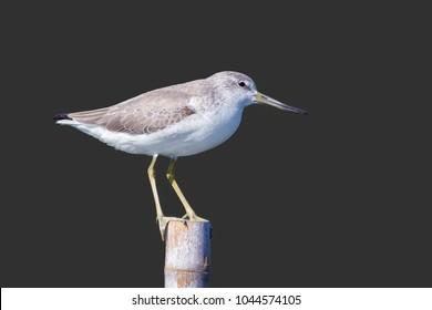 Nordmann's Greenshank (Tringa guttifer) bird. Isolated on gray background.
