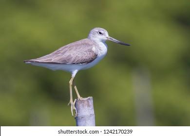 Nordmann's Greenshank (Tringa guttifer) Bird. Birds of Thailand.
