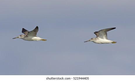 Nordmann's Greenshank (Tringa guttifer) flying, Bird flying,two bird.