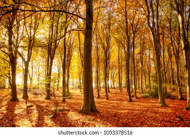 Norfolk forest in full autumn colour. Woodland floor covered in bright orange fall leaves and morning sunlight bursting through the trees