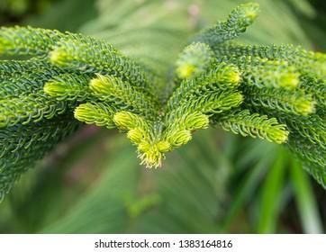 Norfolk Island Pine (Araucaria cookii R.Br. (Salisb.), macro