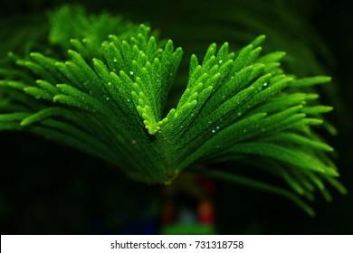 Norfolk Island Pine (Araucaria cookii R.Br. (Salisb.))