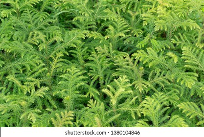 Norfolk island pine or Araucaria heterophylla (Salisb.) Franco,It is a small perennial plant.Used decorate the garden and  the house Giving a very elegant look Because it has a shape similar to tier.
