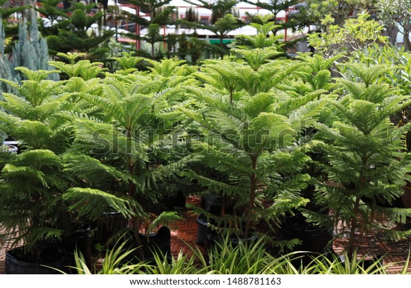 Norfolk Island pine or Araucaria heterophylla. It is sometimes called a star pine, Polynesian pine, triangle tree or living Christmas tree for gardening and landscaping design in plastic pot at shop.