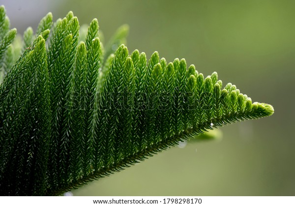 Norfolk Island pine (Araucaria heterophylla) green leaves background. It's also known as star pine, triangle tree or living Christmas tree, due to its symmetrical shape as a sapling.