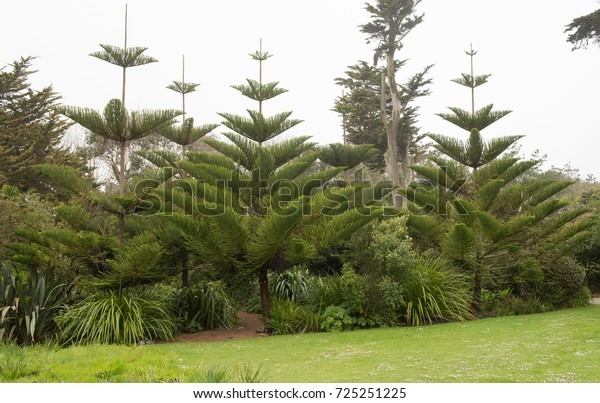 Norfolk Island Pine (Araucaria heterophylla) in the Abbey gardens on the Island of Tresco in the Isles of Scilly, England, UK