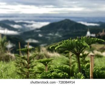 Norfolk island pine Mist