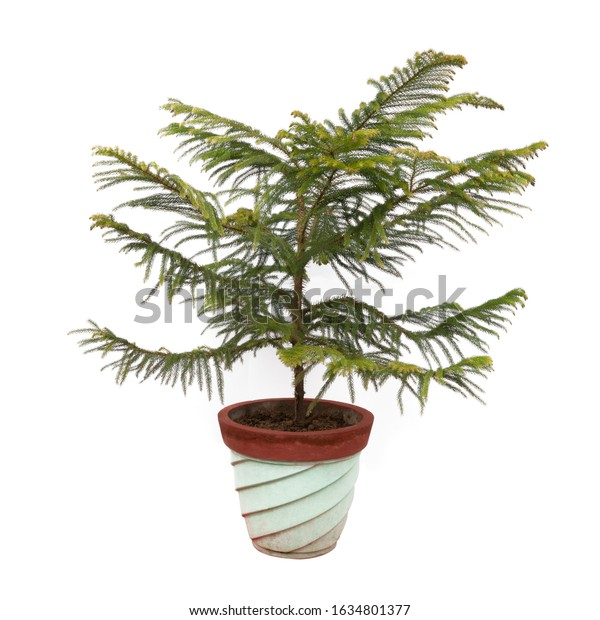 Norfolk Island Pine plant tree potted in flower pot isolated on white background
