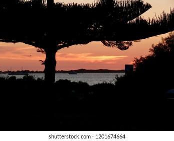 Norfolk Island Pine silhouette at Sunset at Rockingham