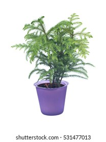 Norfolk island pine tree in decorative pot isolated on white background