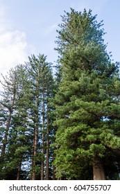 Norfolk Island Pines(Araucaria Heterophylla)in The Esplanade Park in Fremantle, Perth, Western Australia.