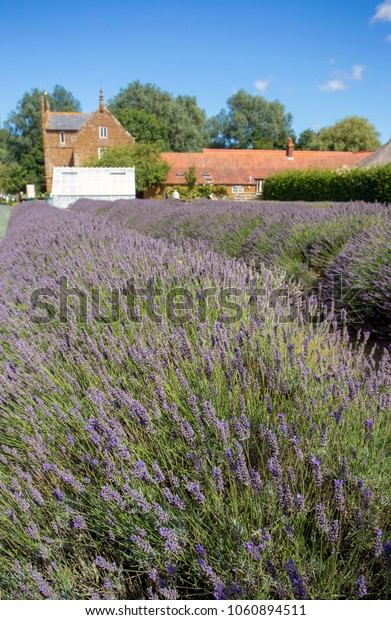 Norfolk Lavender,  Heacham, United Kingdom - August 10, 2017: A view of part of Norfolk Lavender's premises and visitor centre in Eastern England.
