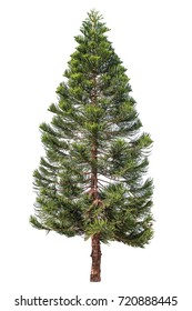 Norfolk pine or Araucaria pine tree isolated on white