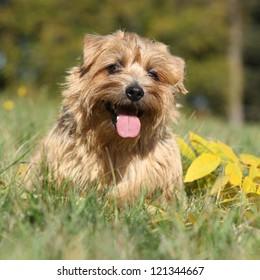 Norfolk Terrier in Autumn