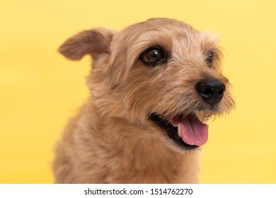 Norfolk Terrier dog against yellow background