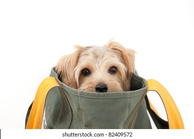 Norfolk terrier dog in the bag, isolated on white background