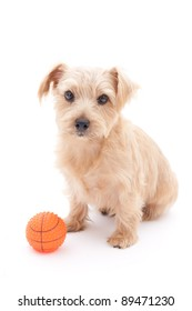 Norfolk terrier dog with ball, isolated on white background