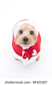 Norfolk terrier dog at Christmas, isolated on white background