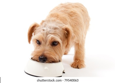Norfolk terrier dog eating food