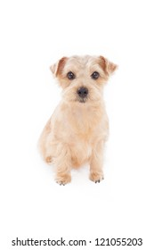 Norfolk terrier dog isolated on white background