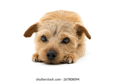 Norfolk terrier dog isolated on white background