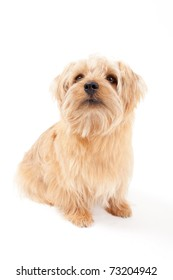 Norfolk Terrier dog isolated on a white background