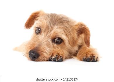 Norfolk terrier dog lying on white background