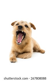 Norfolk terrier dog opening mouth isolated on white background