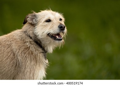 Norfolk terrier Dog portrait