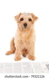 Norfolk terrier dog reading a newspaper