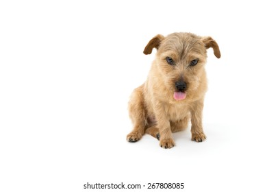 Norfolk terrier dog showing tongue isolated on white background