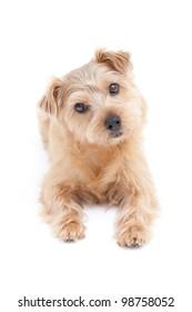 norfolk terrier dog thinking, isolated on white background