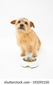 Norfolk terrier dog waiting for food
