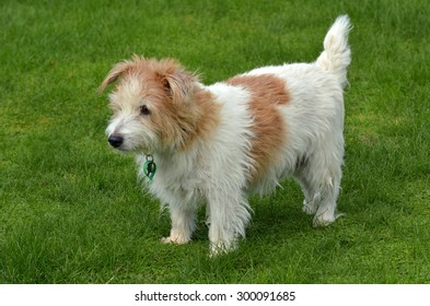 Norfolk Terrier ( full body) stand on green grass in the park. (BW)