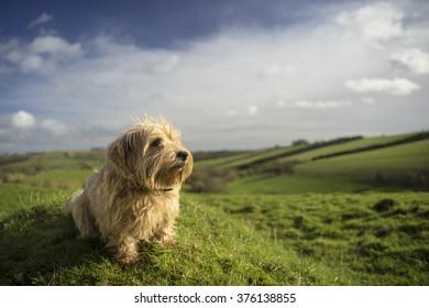 Norfolk Terrier in Gloucestershire scene. UK
