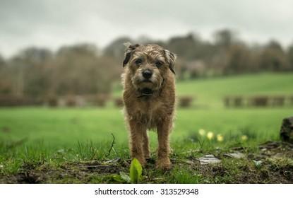 Norfolk Terrier in The Herefordshire Landscape. UK