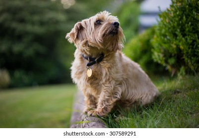 Norfolk Terrier looking intently into the distance. Set in the English countryside