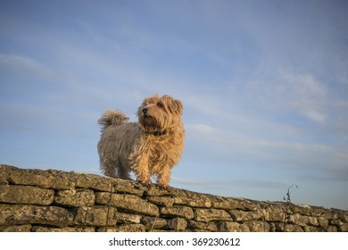 Norfolk Terrier on a Dry Stone Wall. UK