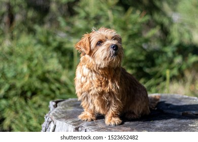 Norfolk terrier on walk in autumn