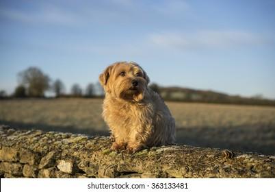 Norfolk Terrier on wall. UK
