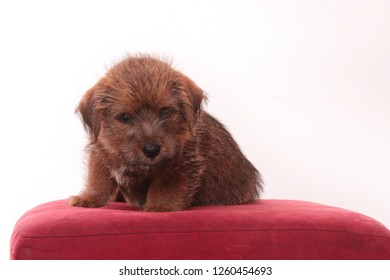 Norfolk Terrier puppy portrait