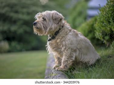 Norfolk Terrier Surveys the Land. UK.