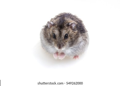 Normal Color of Winter White Hamster on white background
