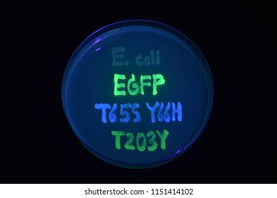 Normal Escherichia coli (E. coli). Bacteria with green fluorescent protein (EGFP). A blue mutant of EGFP (T65S Y66H). A yellow mutant of EGFP (T203Y)