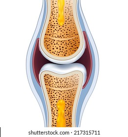 Normal synovial joint anatomy. Healthy joint detailed illustration.