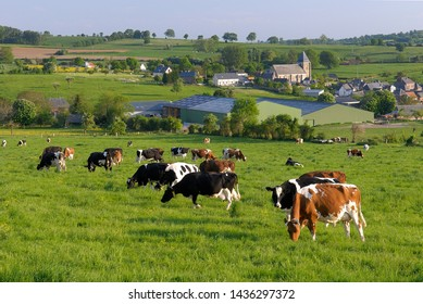 Normandy, France, May 2008. Dairy herd  who are grazing in a grassy field. Normande and Prim Holstein cattle breed,  Farmhouse in the background.